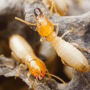 House inspections melbourne termite noise
